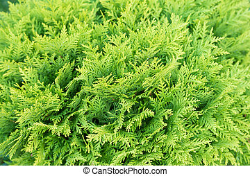 Coniferous thuja or cedar tree with evergreen foliage on natural green background, fir.