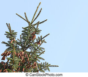 Balsam fir coniferous tree with pine cone isolated on blue sky