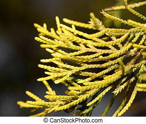 coniferous tree branch in nature. macro
