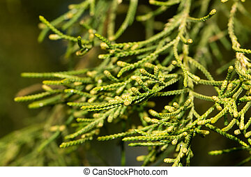coniferous tree branch in nature