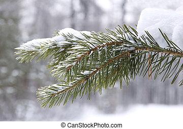 coniferous tree branch in snow closeup