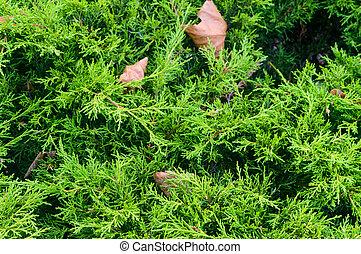 coniferous tree day in