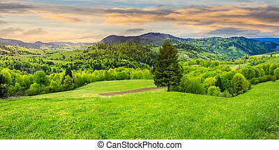 coniferous tree in a panoramic valley at sunrise - panoramic...