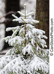 Real coniferous tree in natural snowy background