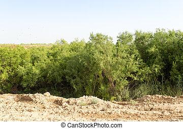 coniferous tree in nature