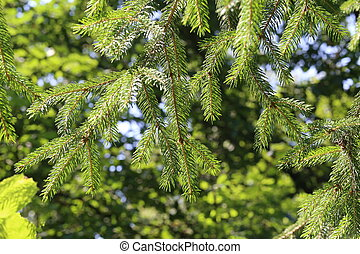 Coniferous tree in the forest
