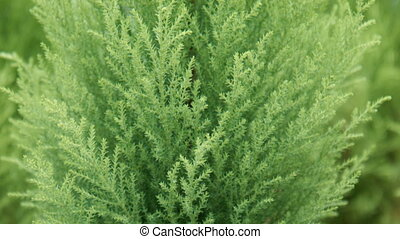 Coniferous tree in the greenhouse for sale