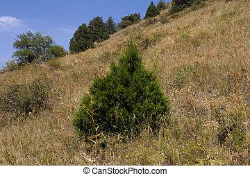 coniferous tree in the mountains of Kazakhstan