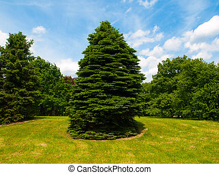 Coniferous tree in the park