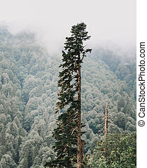 Old tall coniferous tree in summer forest.