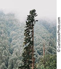 Coniferous tree. - Old tall coniferous tree in summer...