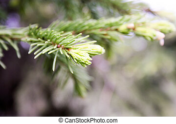 Coniferous tree. Photo for your design