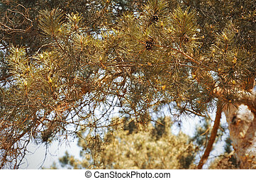 coniferous tree, spruce, Christmas tree with cones.