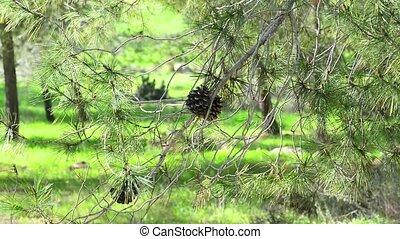 Coniferous tree with pine cones