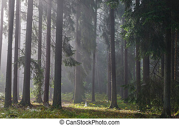 Coniferous trees against light of misty sunrise - Coniferous...