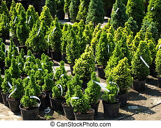 Coniferous trees - Garden store centre with many of...