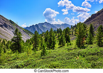 Coniferous trees in mountains on border of forest