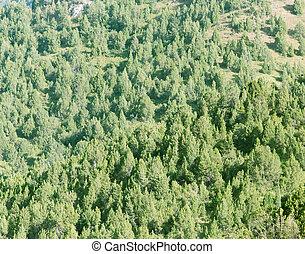 coniferous trees in nature