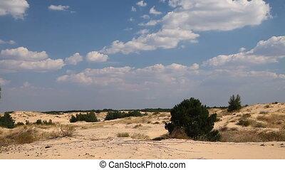 Coniferous trees in the desert