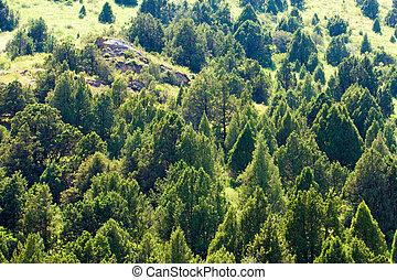coniferous trees in the mountains in Kazakhstan