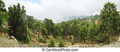 Coniferous trees in the mountains