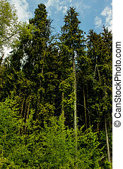Coniferous trees in the summer