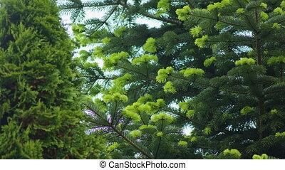 Coniferous Trees Scene - Coniferous trees scene. Close-up...