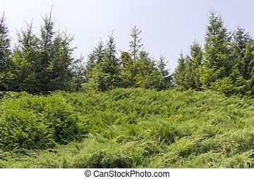 Coniferous trees sky background