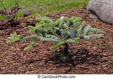 Coniferous young bush grown up in the garden