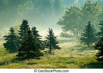 conifers, em, manhã, backlight