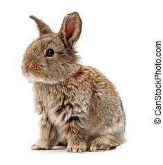 coniglio bianco, isolato, fondo, animals.