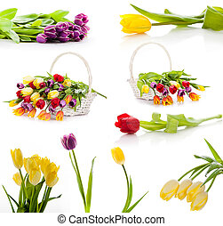 conjunto, colorido, tulipanes, aislado, flowers., plano de fondo, primavera, fresco, blanco