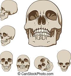 conjunto, cráneos, seis