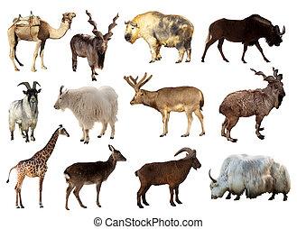 conjunto, de, artiodactyla, animales