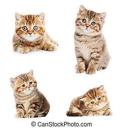 conjunto, de, británico, shorthair, gatitos