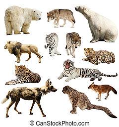 conjunto, de, depredador, mamíferos, encima, blanco