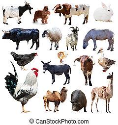 conjunto, granja, encima, aislado, gallo, otro, blanco, animals.