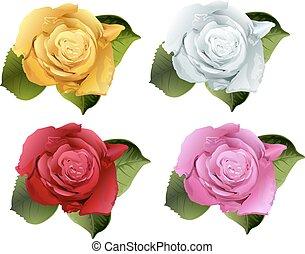 conjunto, rosa, flor, bud., aislado, blanco