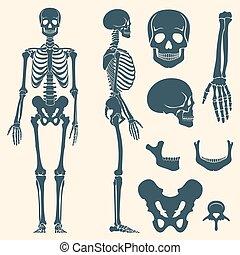 conjunto, silueta, esqueleto, vector, humano, huesos