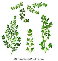Conjunto, Tomillo, hierba, aislado, fresco, ramo