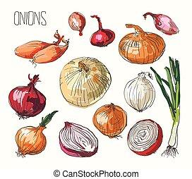 conjunto, vector, cebolla, ilustración
