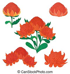 conjunto, waratah, flower., telopea, arbusto, australiano,...