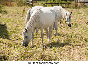 Connemara ponies grazing