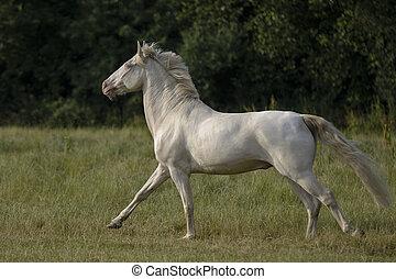 Connemara Pony im Galopp