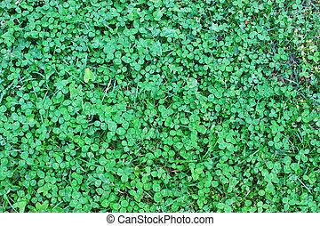 connu, trèfle, irlandais, bon, saint, saint, trèfle, coined,...