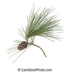 conos, pino, aislado, fondo blanco, rama
