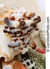 conque, coraux, coquilles, morceaux