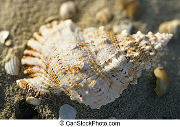conque, sand., coquille