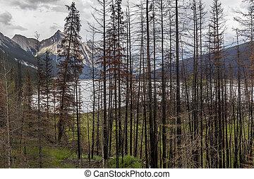 conseguenza, di, uno, fuoco foresta, -, jasper parco nazionale