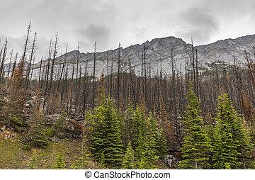 conseguenza, di, uno, fuoco foresta, -, jasper parco nazionale, canada